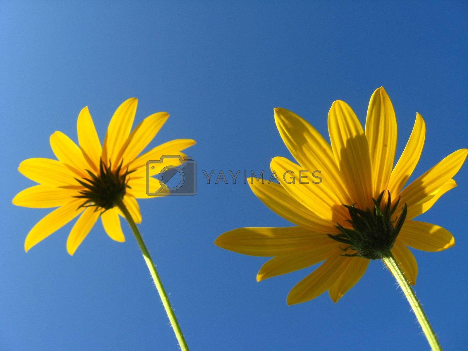 Pair of yellow flowers on a background of the blue sky