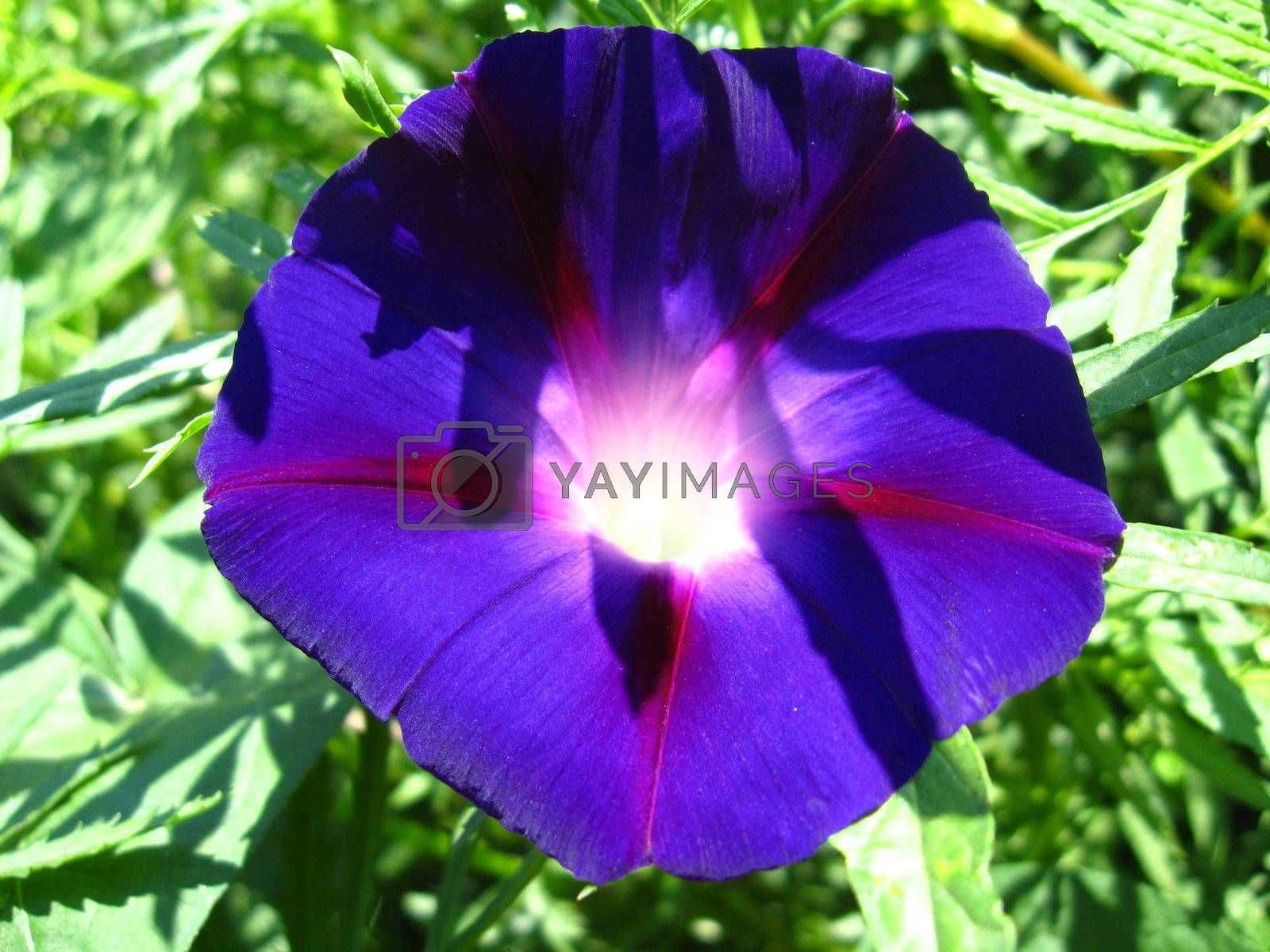 beautiful flower of Ipomoea is very motley