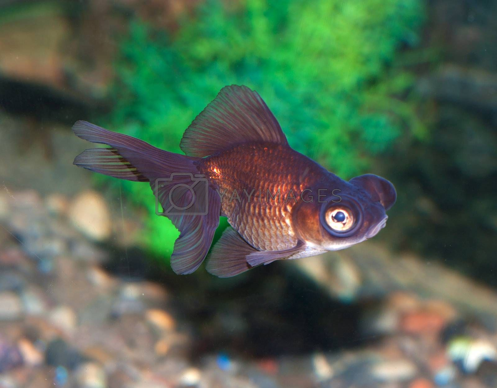fish with greater eye