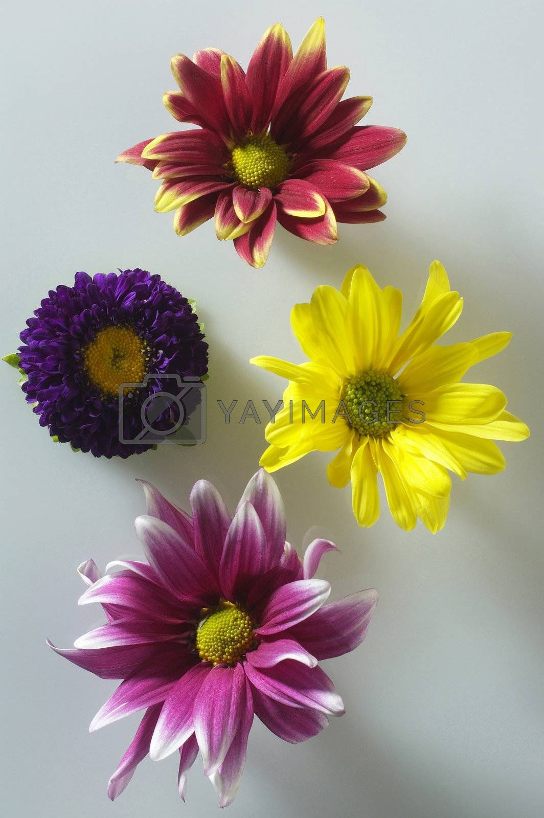 close up of the Chrysanthemum flower