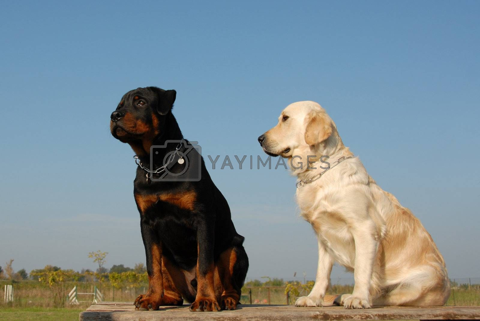 two babies dogs by cynoclub