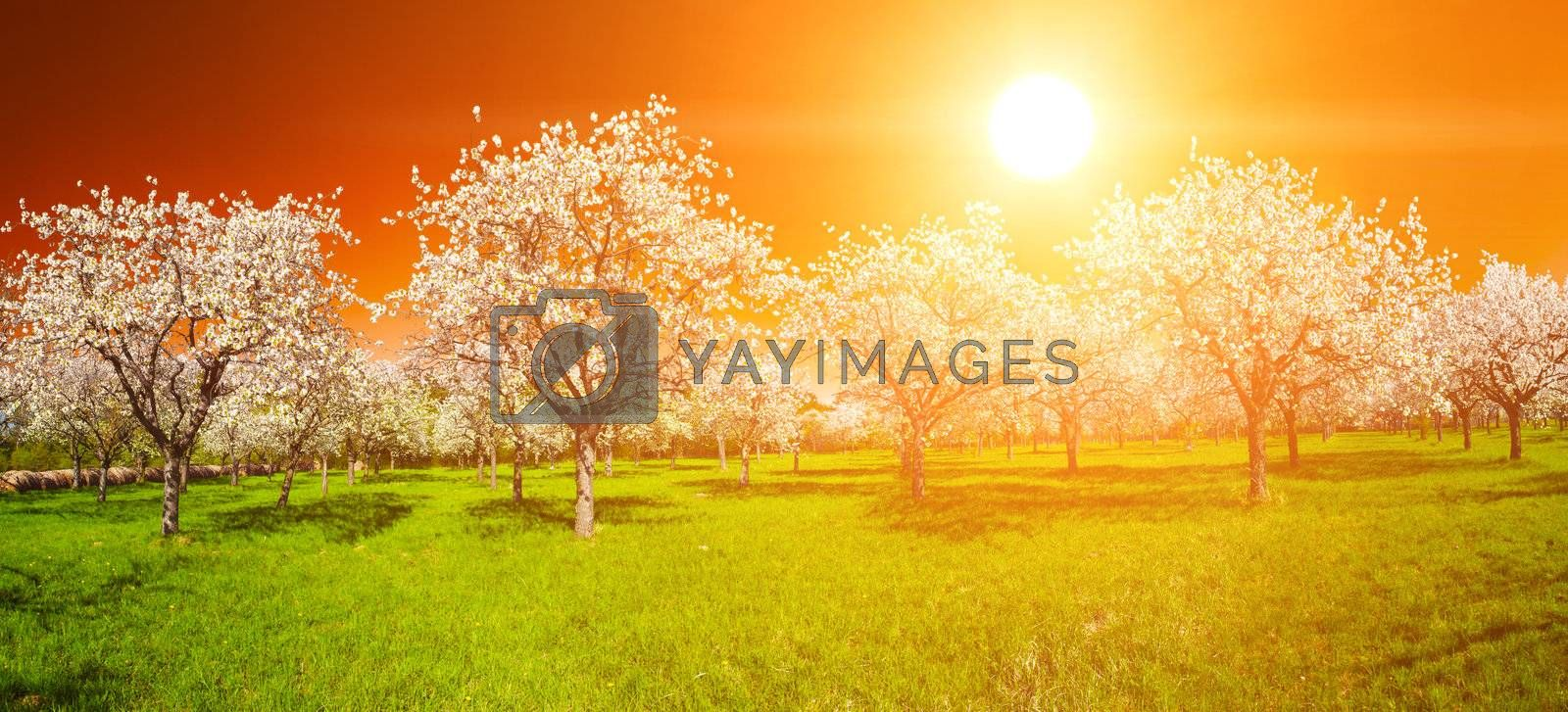 Apple Orchard in the middle of the spring season at sunset. Panoramic photo.