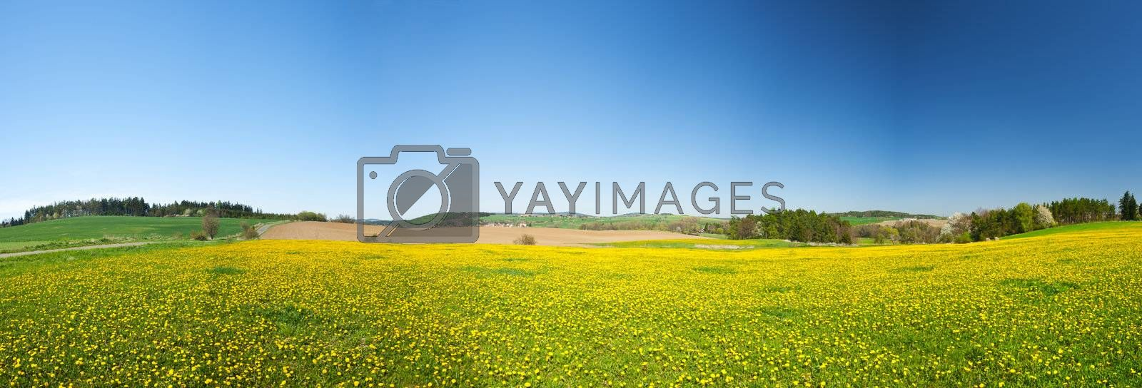 Beautiful spring panoramatic shot with a dandelion meadow