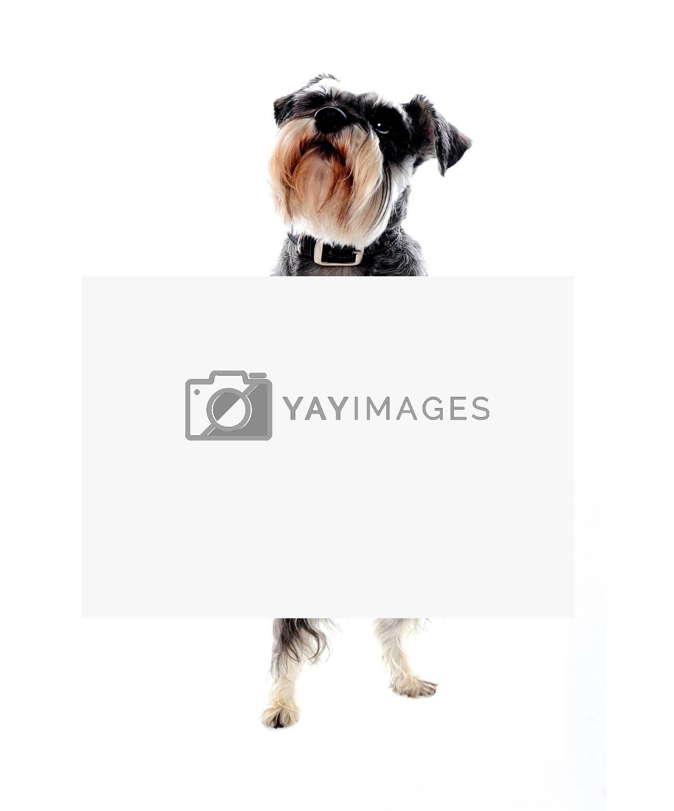 Its time for doggy business. Schnauzer dog holding blank banner ad
