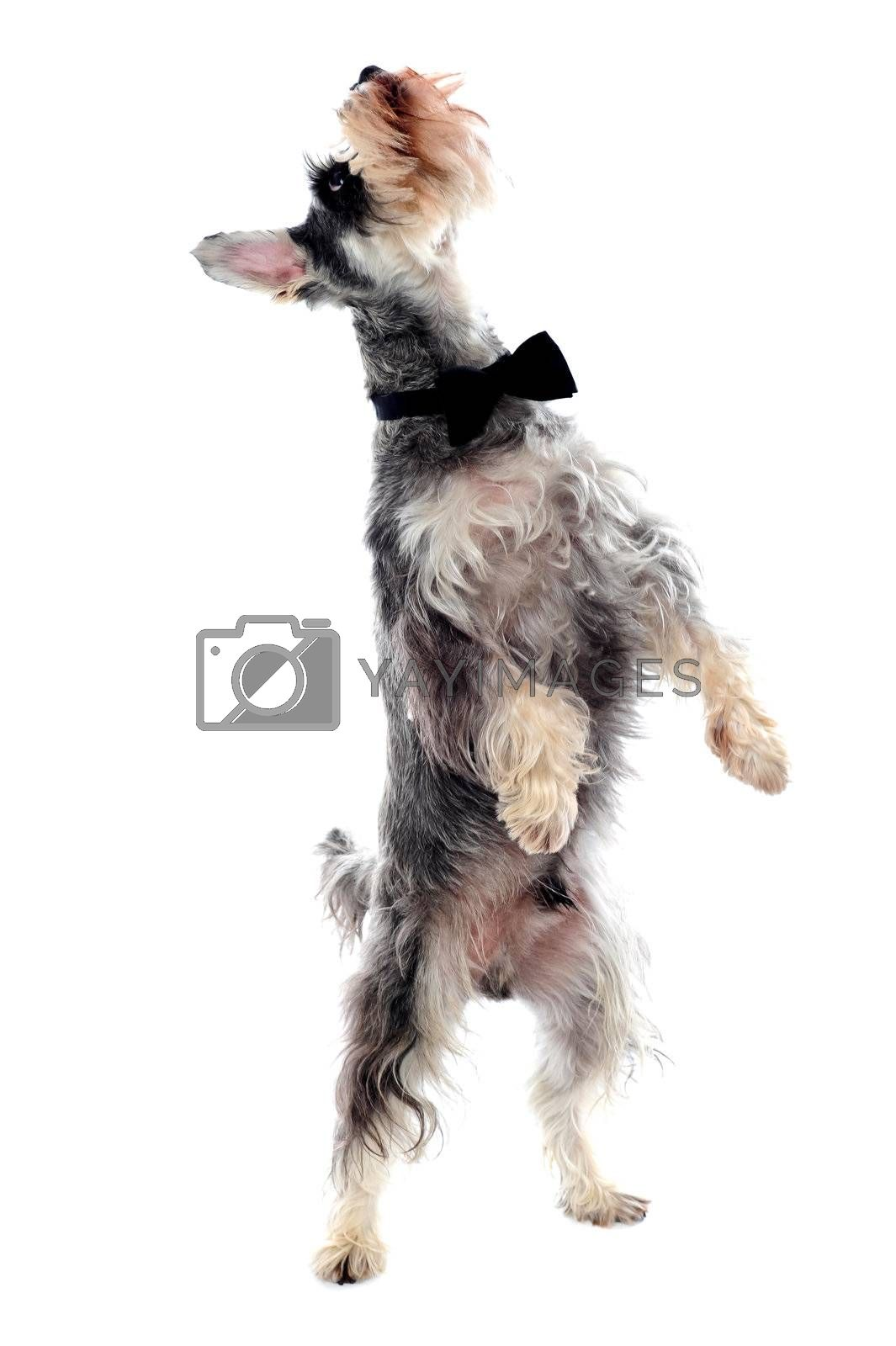 Schnauzer standing on two legs and looking upwards