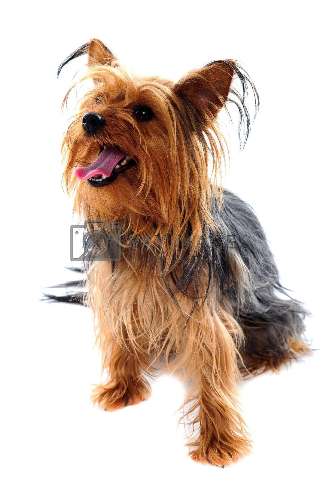Yorkshire terrier looking away against white background