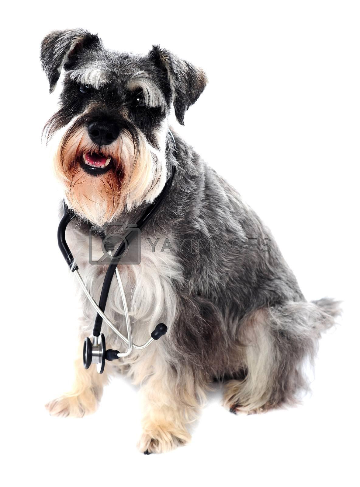 Schnauzer dog posing with stethoscope around its neck. All on white background