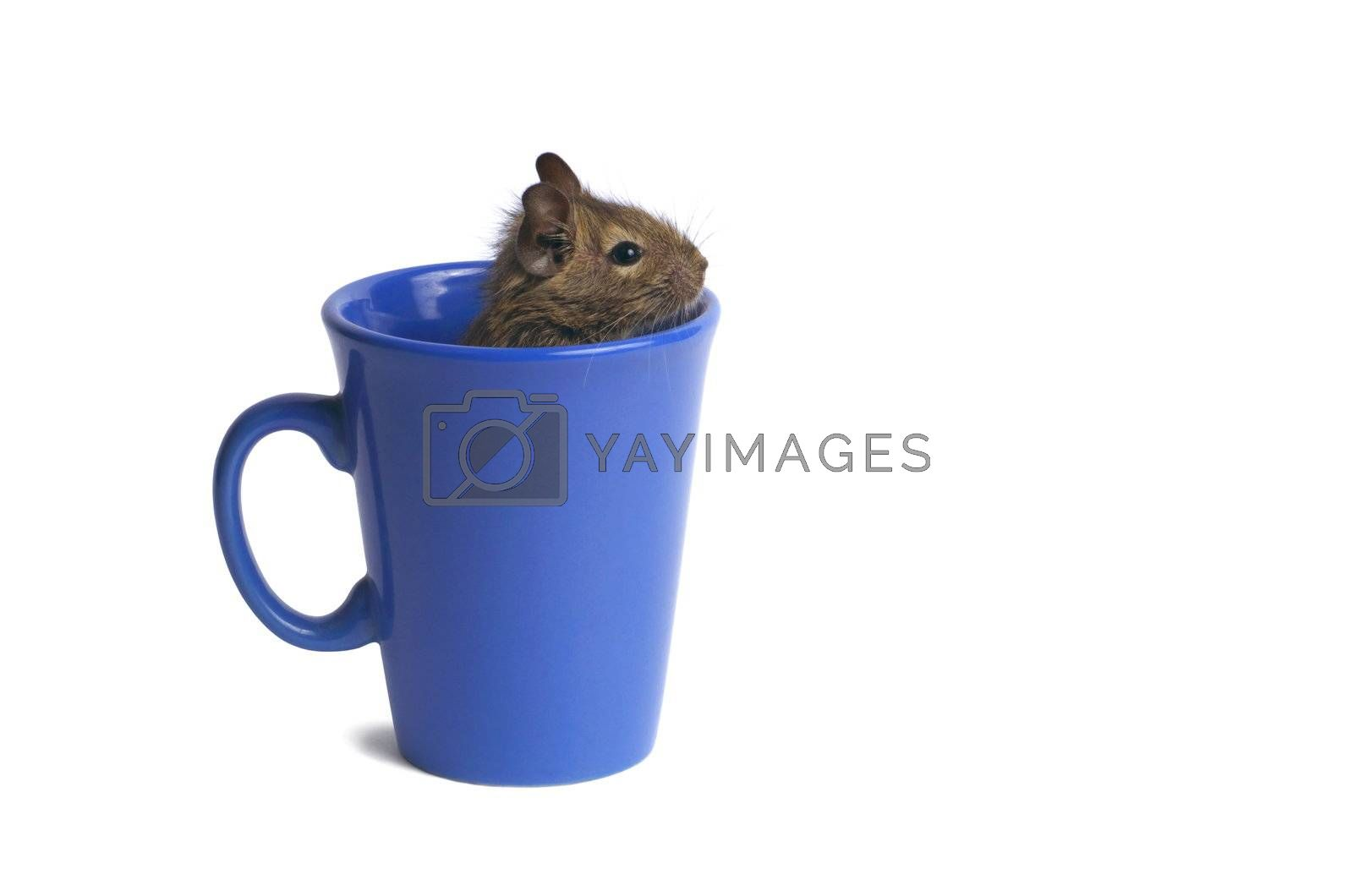 Macro of a mug with degu inside isolated on white