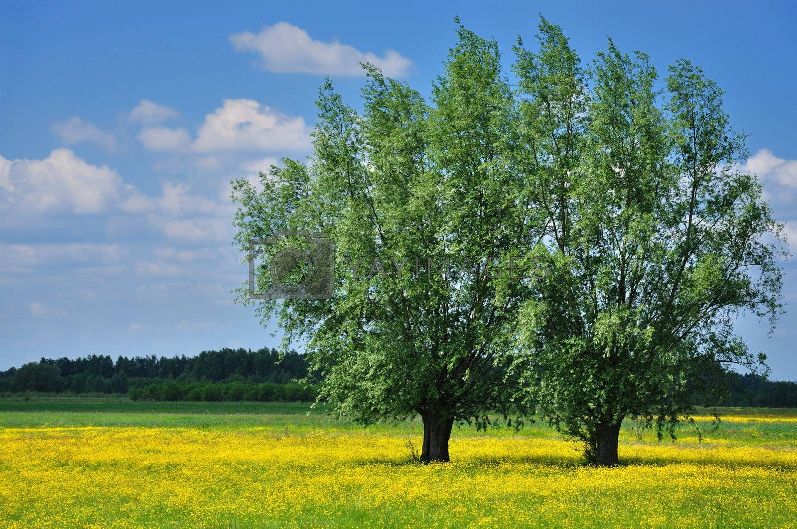 Two trees and yellow flowers against blue sky