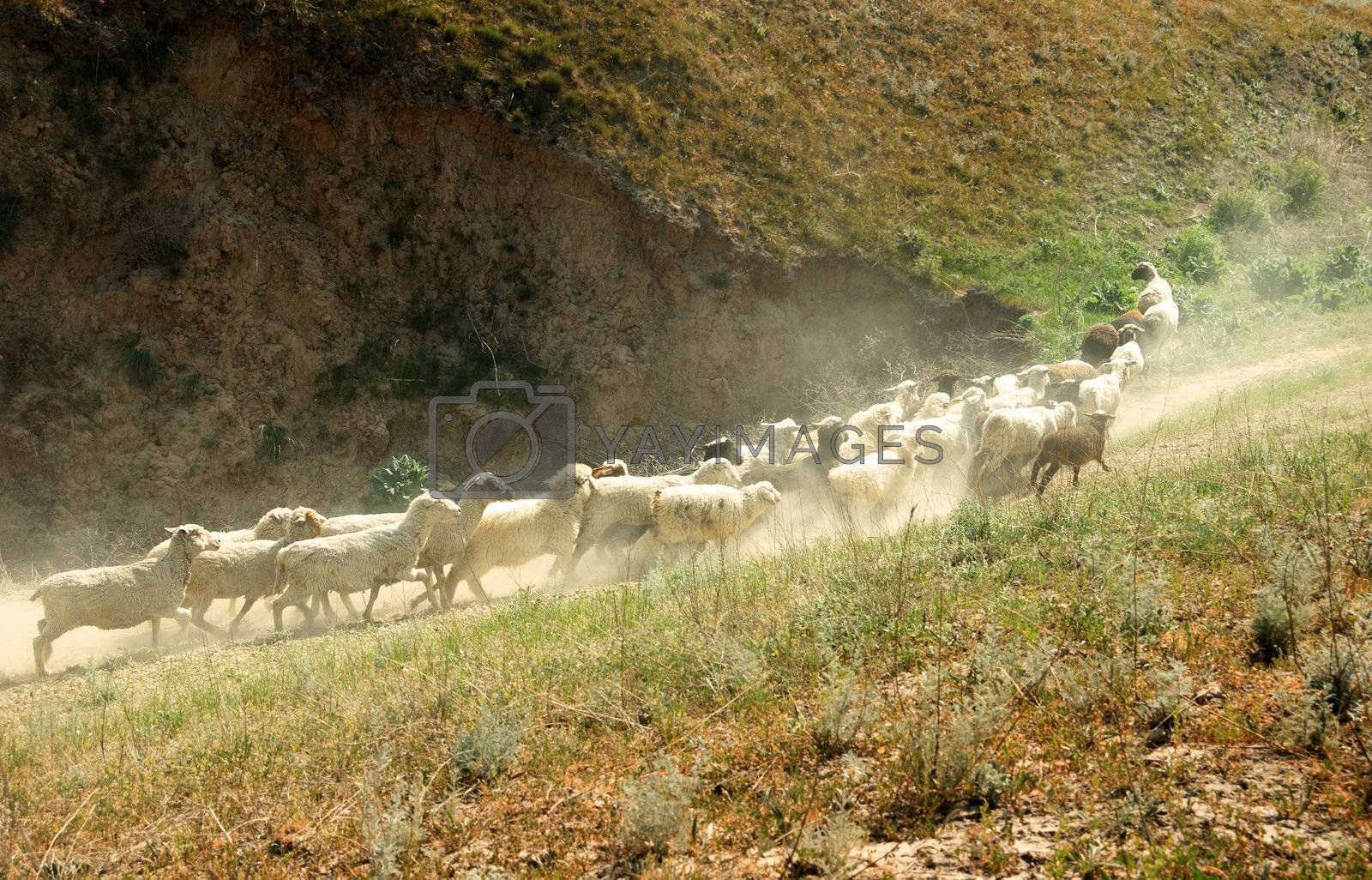 Numerous sheep walking in mountain area. Middle Asia. Natural light and colors