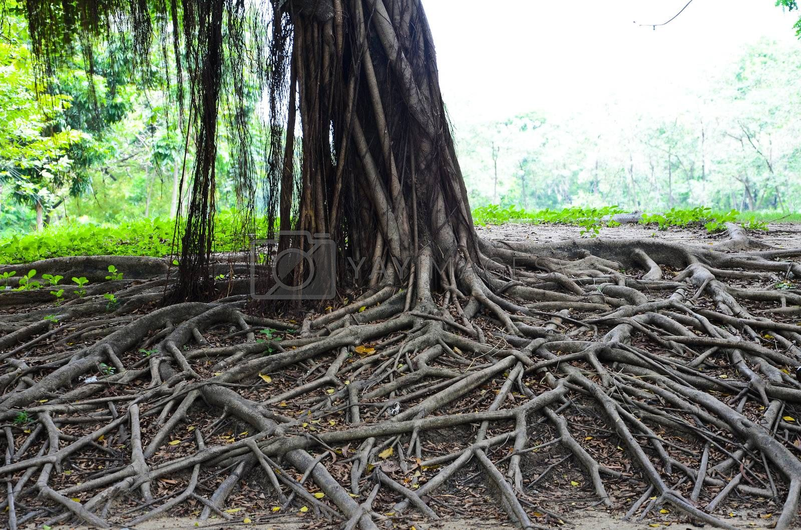 Big banyan tree in Park of Thailand.