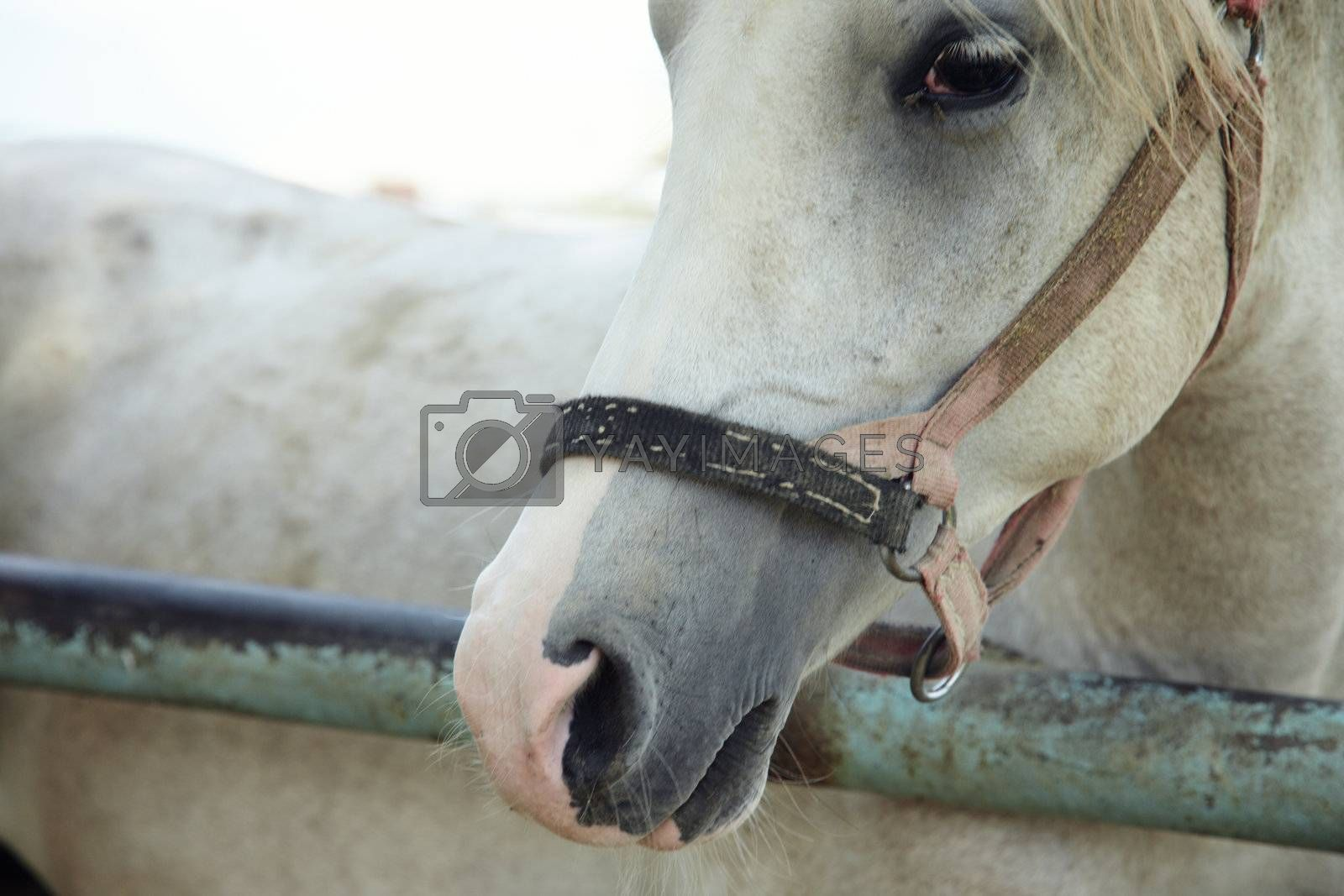 Single white horse in the stable. Horizontal headshot with natural light and colors