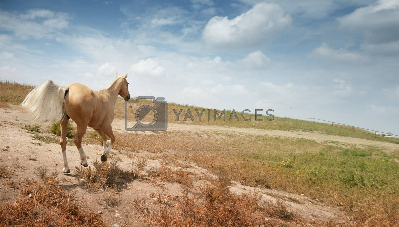 Running horse. Kazakhstan. Natural light and colors