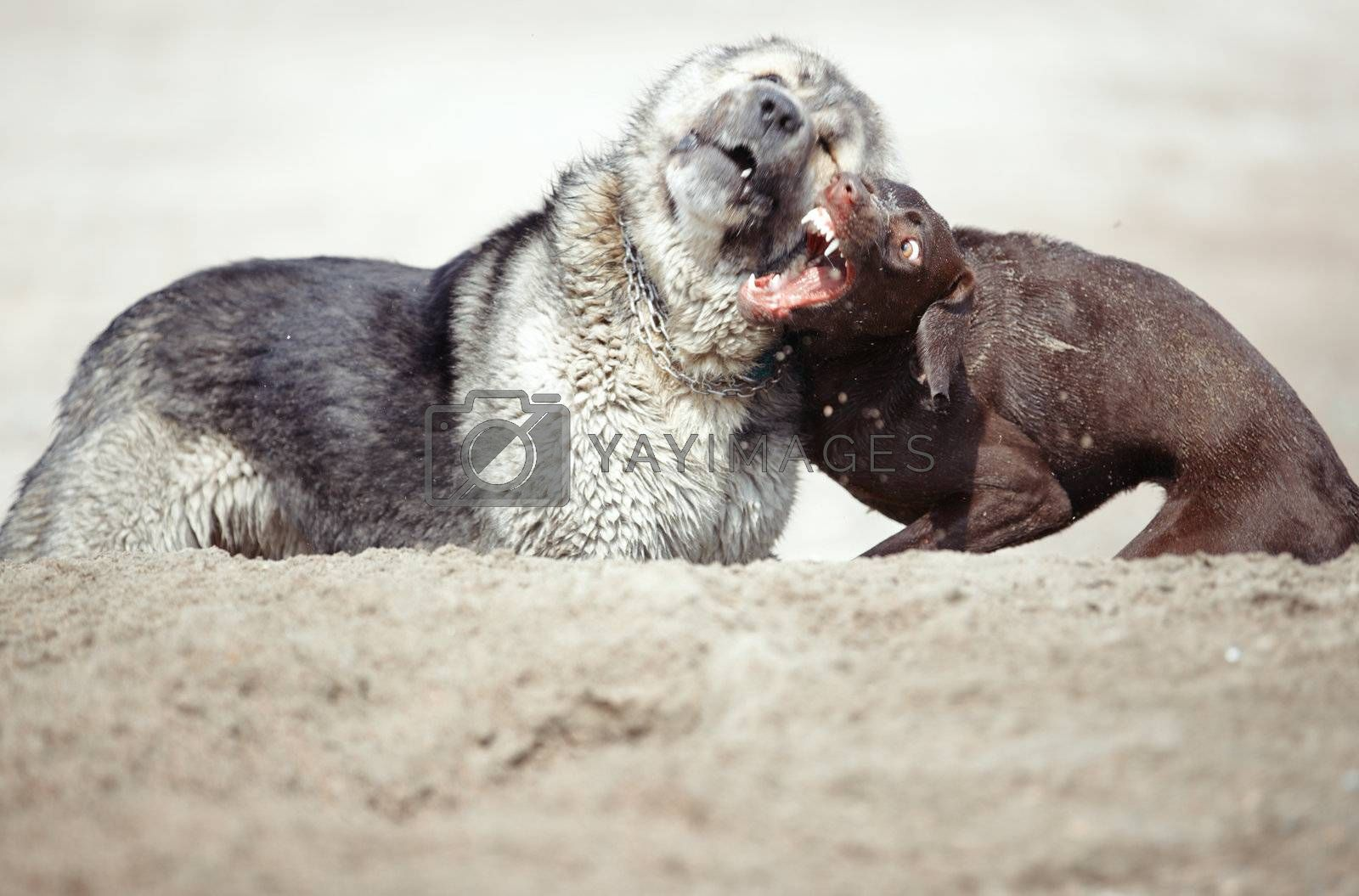 Two dogs fighting outdoors. Horizontal photo with natural light. Shallow depth of field added for natural look