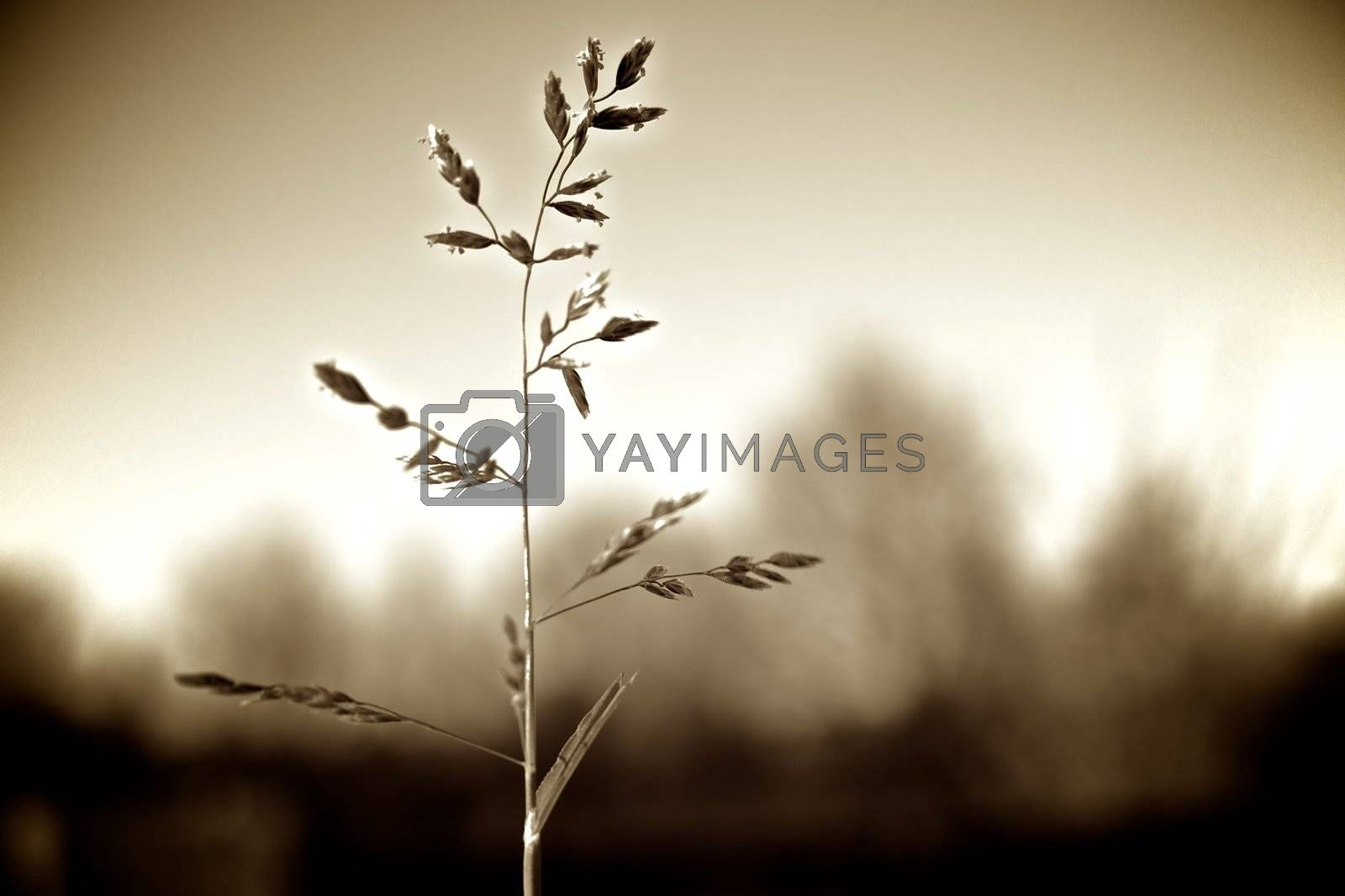 Single stem of grass with spring seeds as silhouette against treeline.