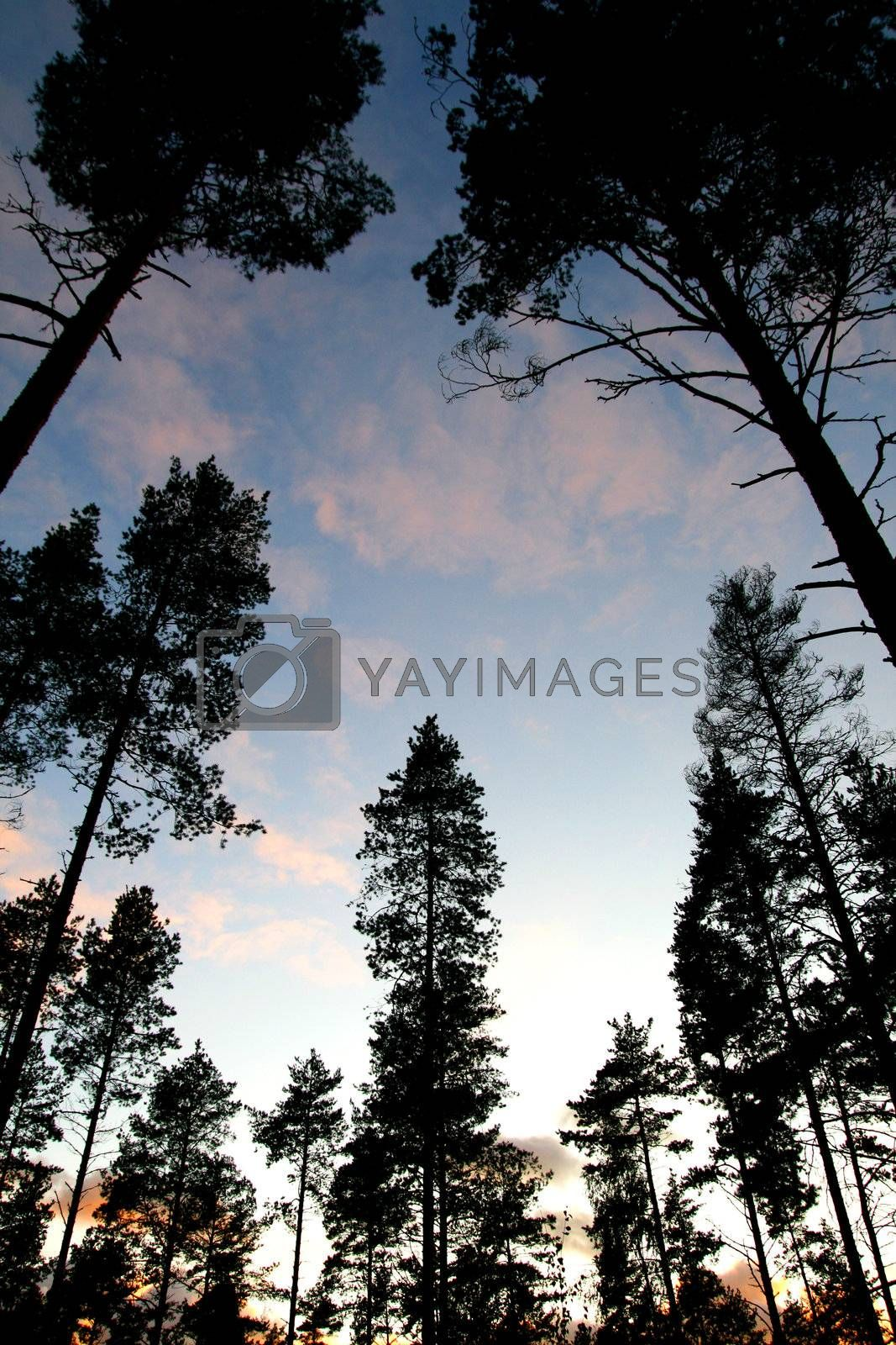 Silhouette of tree on sunset sky