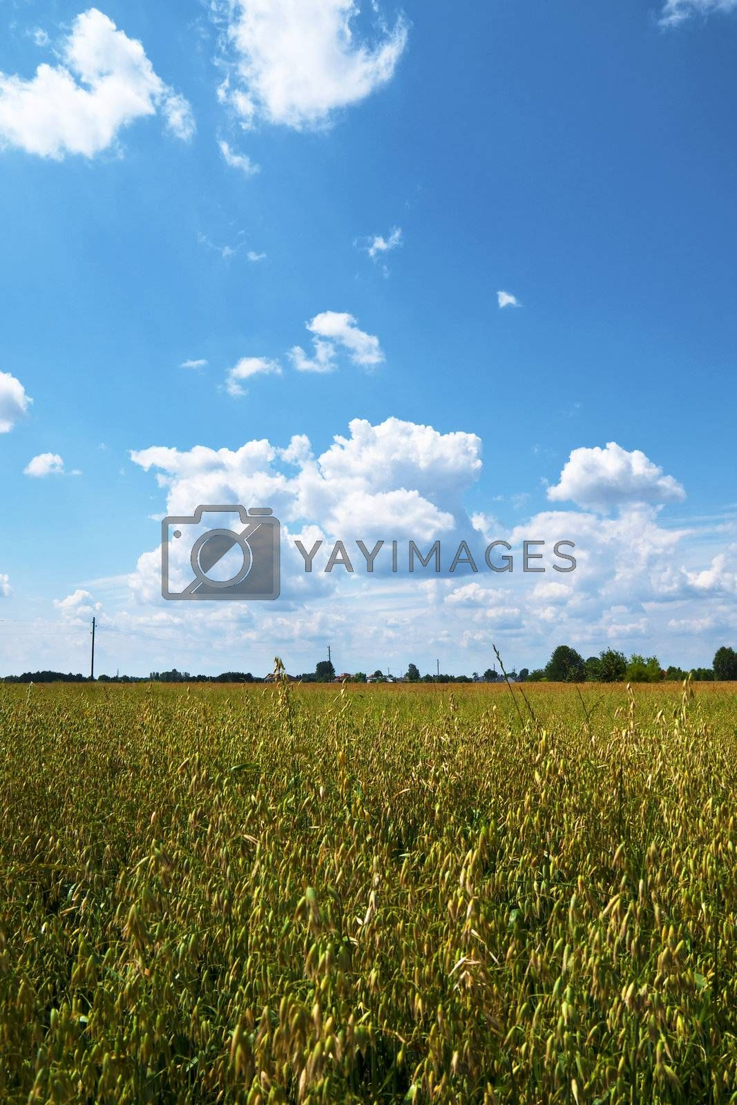 Grain field, sky and distant trees.