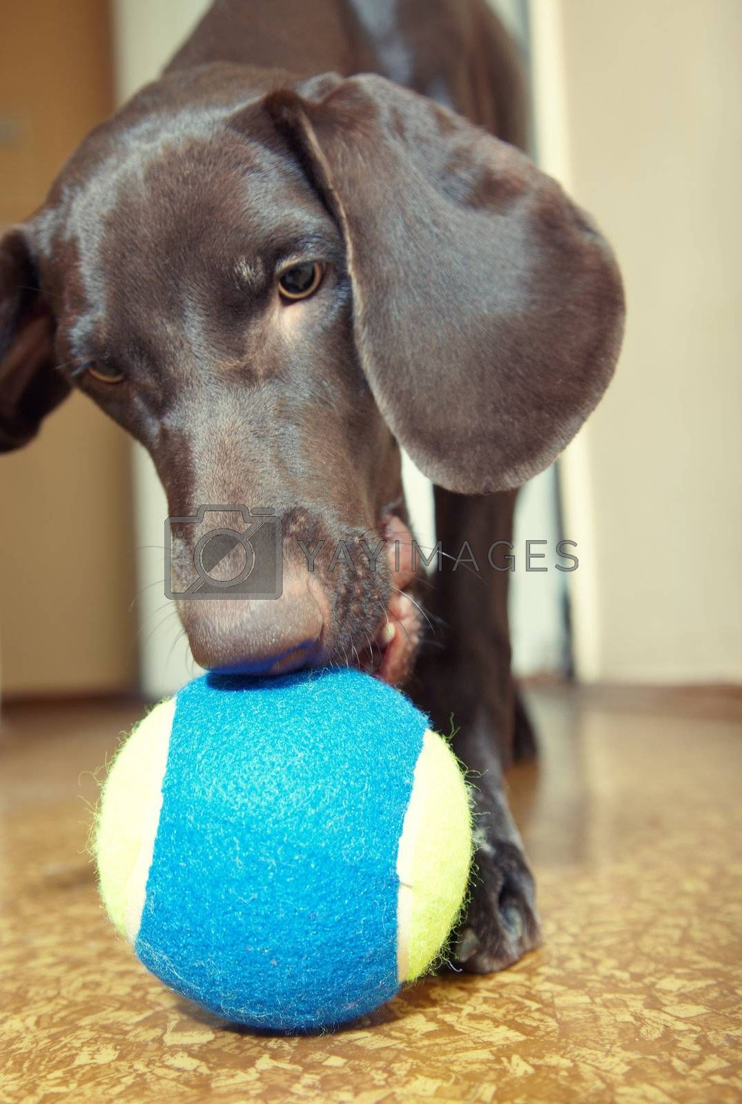 Young dog playing indoors with colorful tennis ball. Natural light and colors
