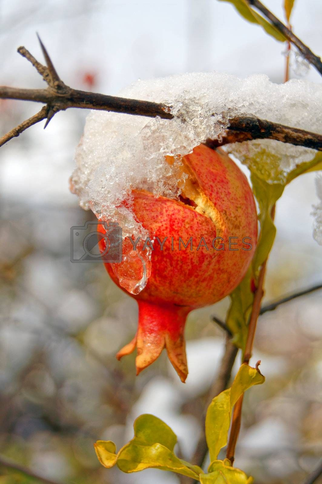 Ripe colorful pomegranate fruit on tree branch under snow in the garden