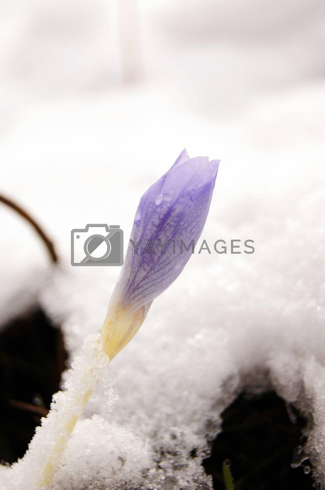 Blue crocus flowers under the first snow