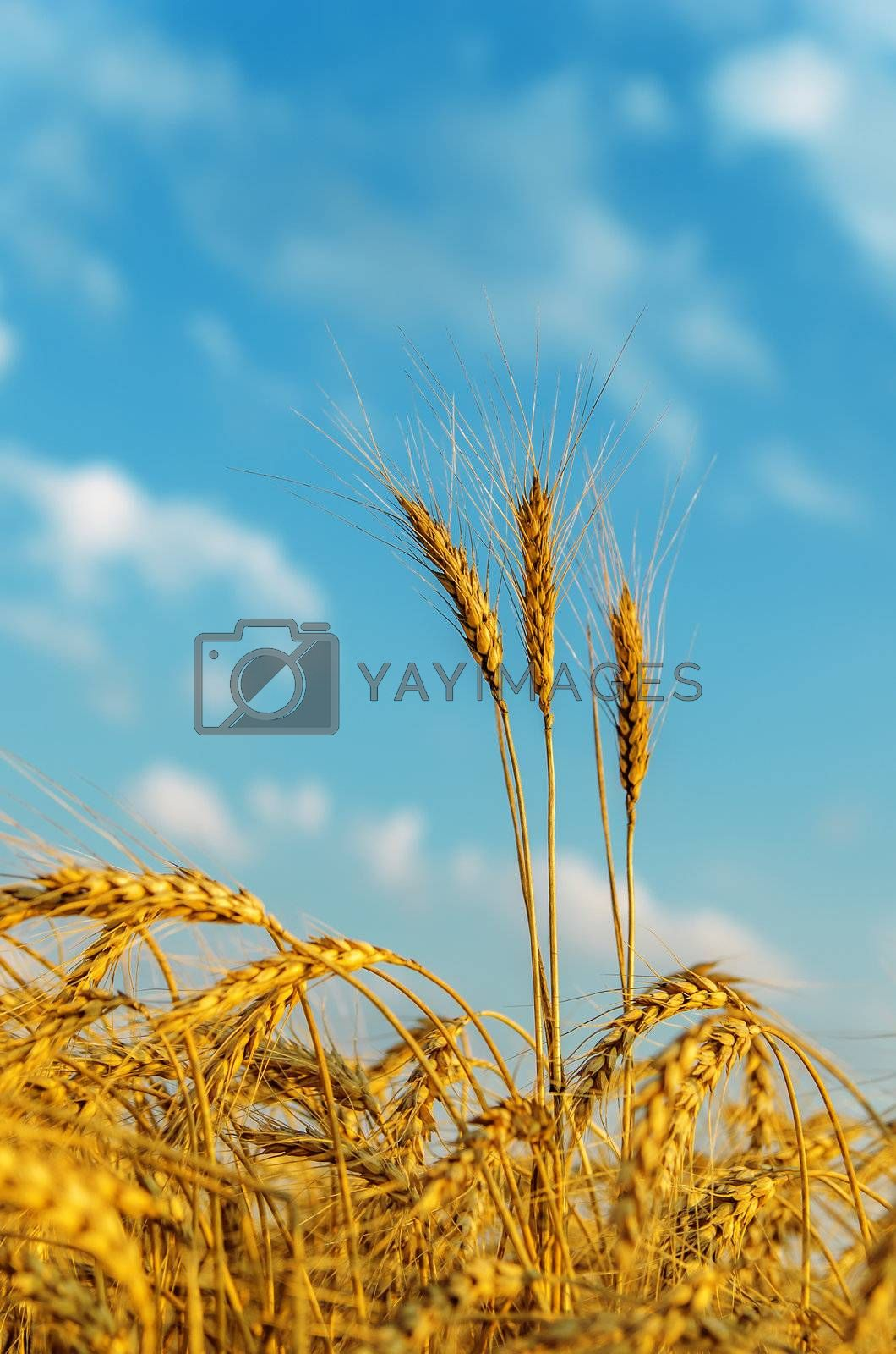 golden harvest in field