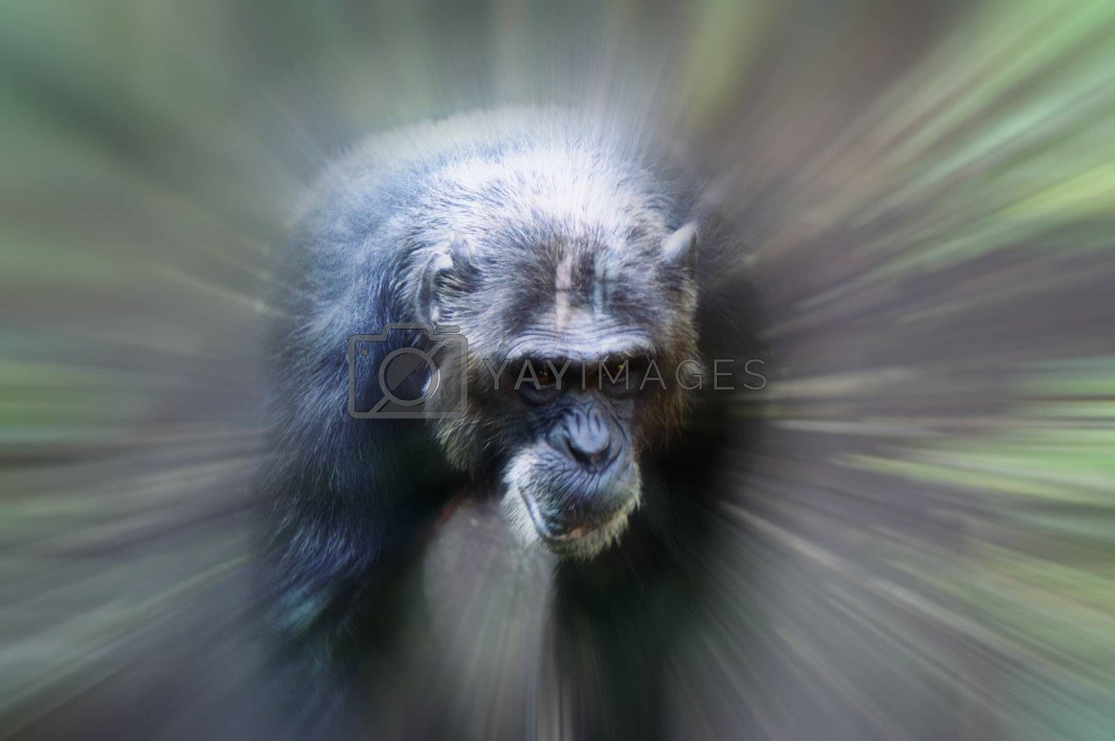 An African monkey in captivity at the zoo