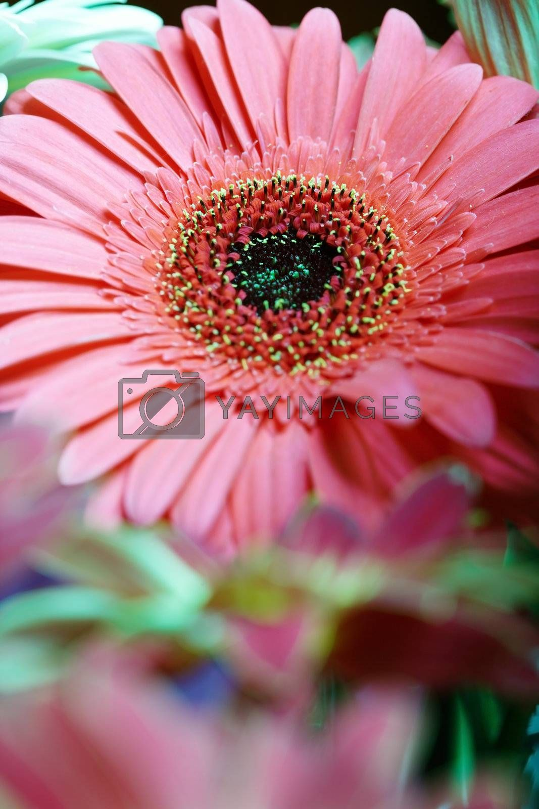 Close-up photo of the red chrysanthemum. Natural light and colors