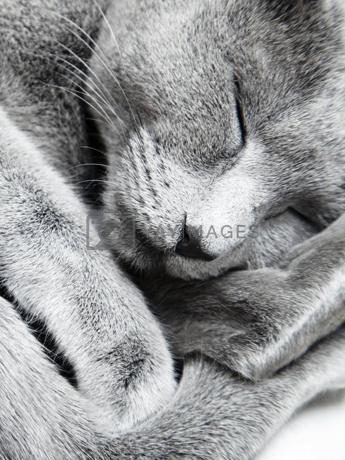 Russian blue cat sleeping indoors. Natural light and colors