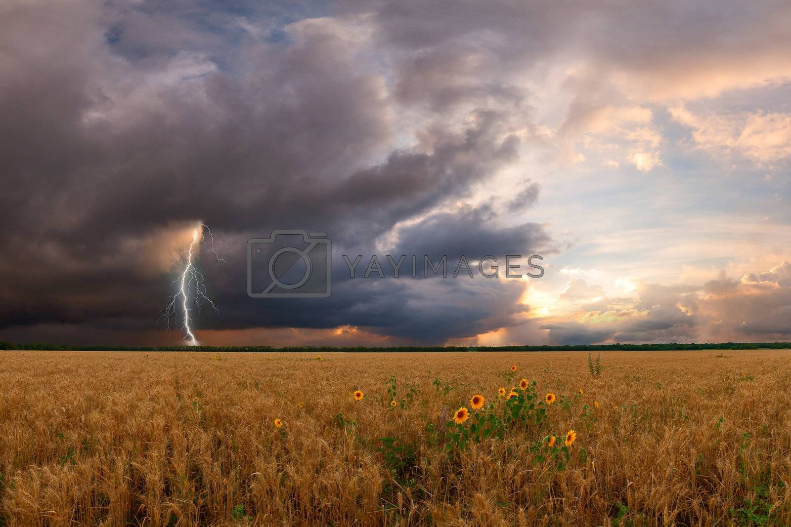 Summer landscape with wheat field and sunflower, thunderstorm with lightning on background