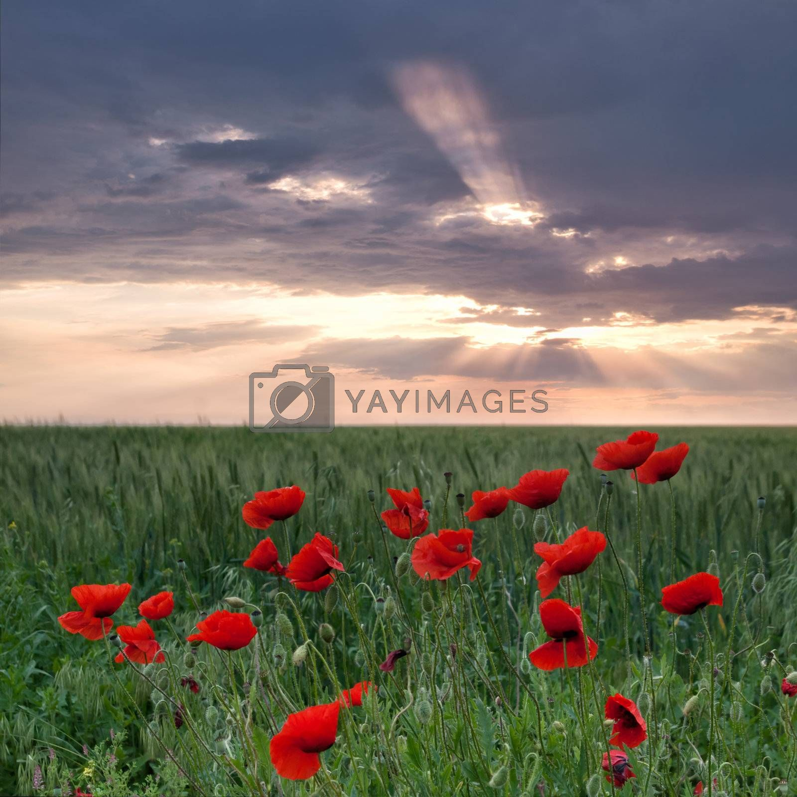 Poppies on a green field with sun beams through clouds in the sky