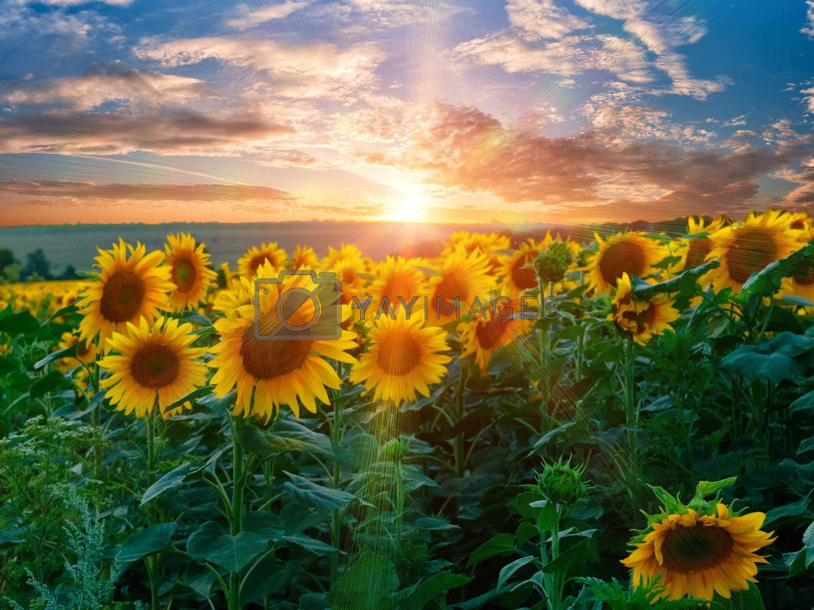 Summer beauty landscape with colorful sunset over sunflowers field