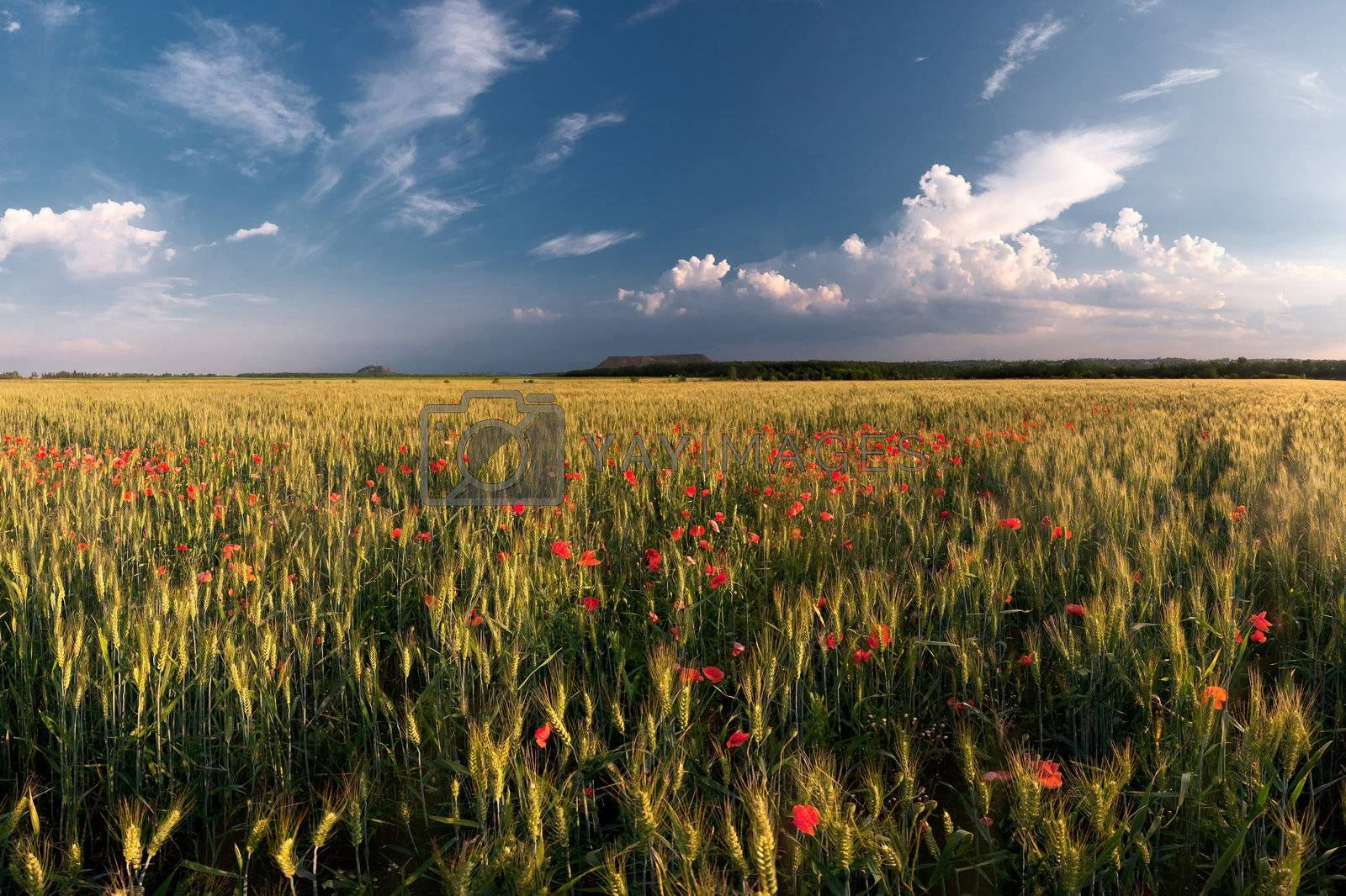 Big wheat field with poppies