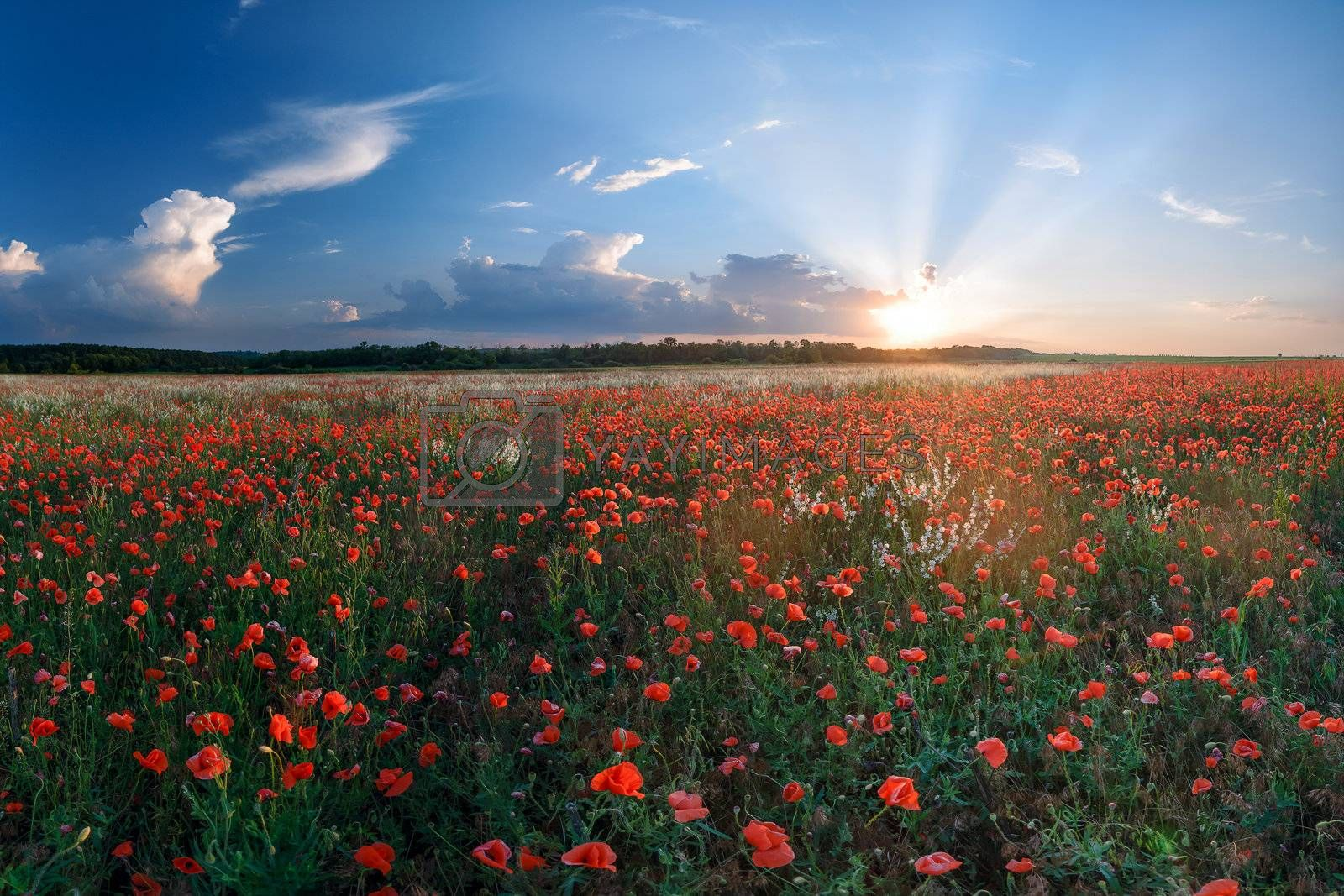 Summer landscape with big field of poppies and beautiful sunset on background