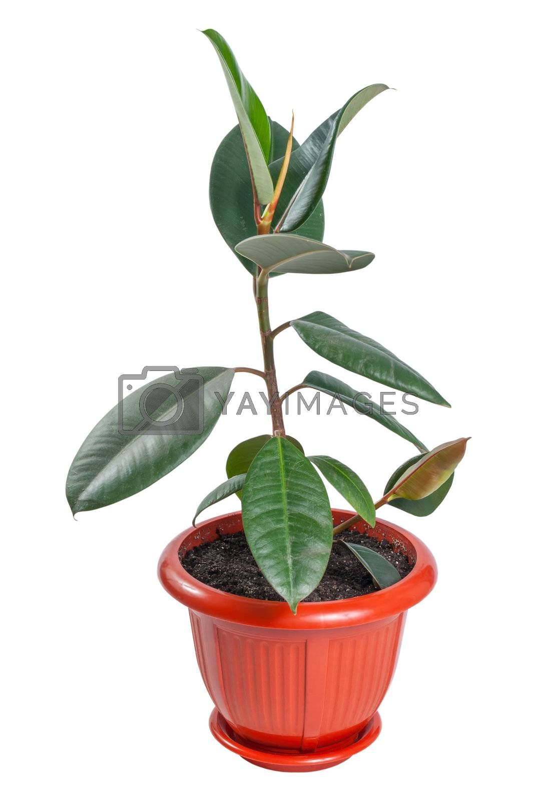 Ficus (Rubber Plant) in pot isolated on white background