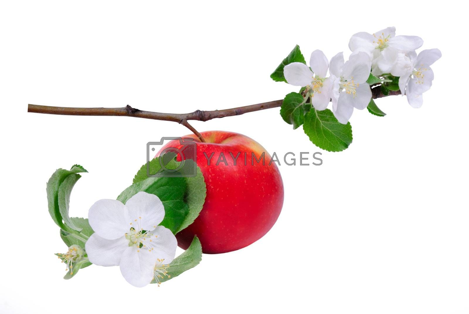 Red apple on branch with blossom flower isolated on white background