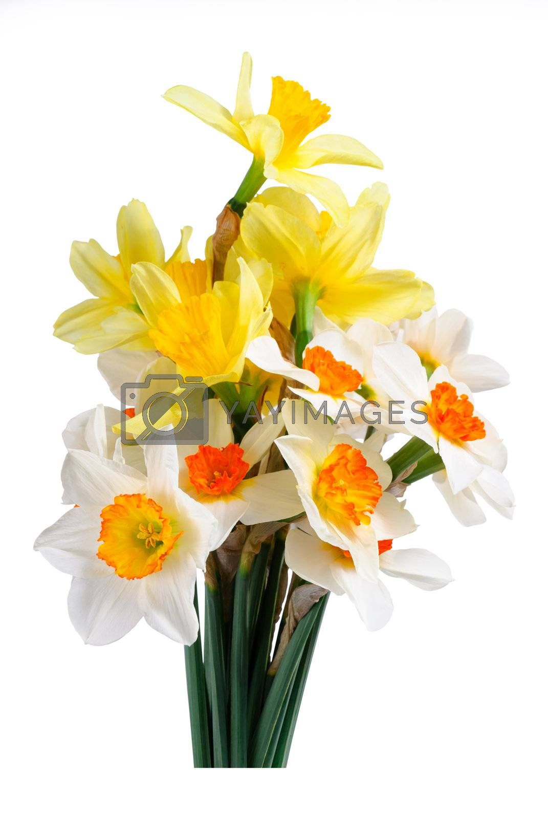 Beautyful bouquet of yellow and white narcissus isolated on a white background
