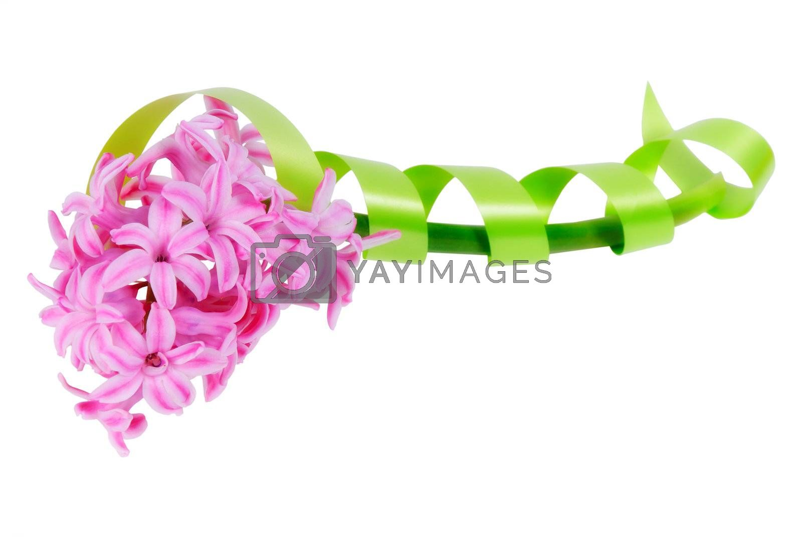 Beautiful hyacinthus flower with a green tape, isolated on white background
