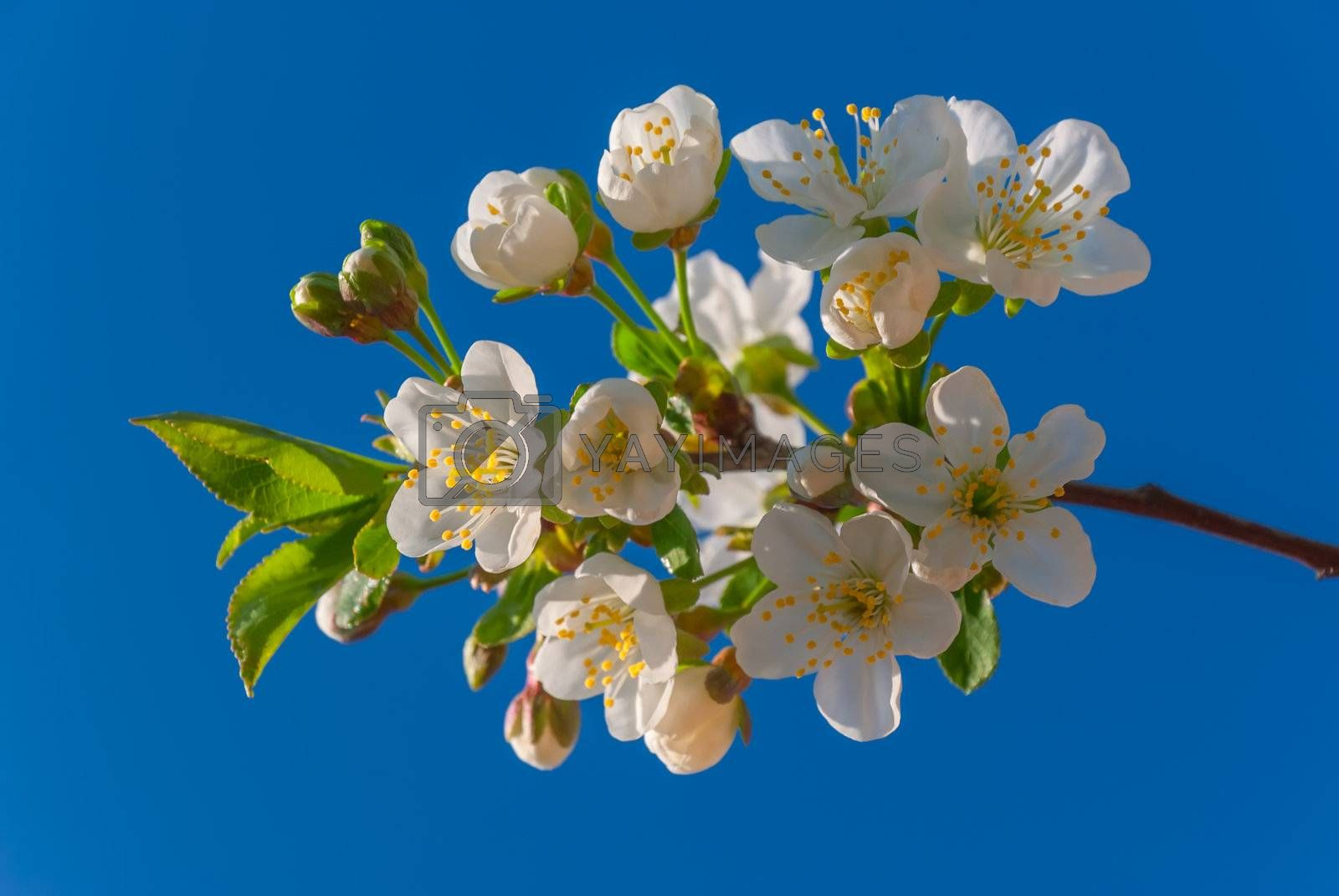 Branch of a blossoming cherry on blue sky background