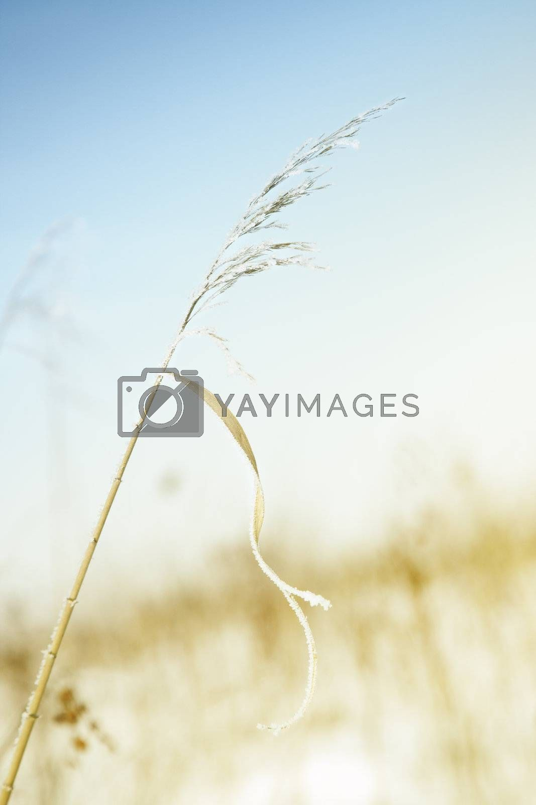 Close-up photo of the wheat covered by snow during the end of winter. Shallow depth of field for natural view