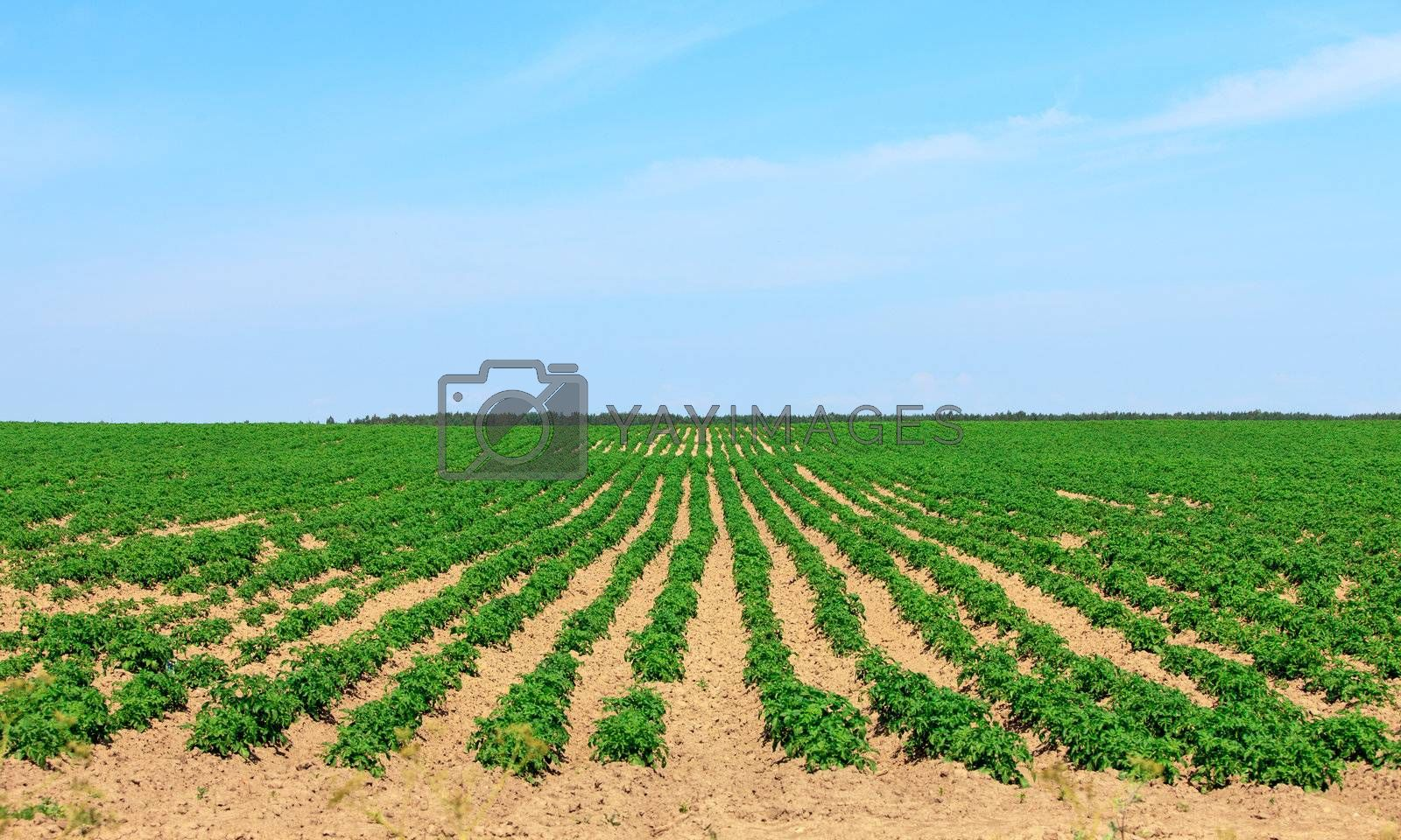Potato Fields in the Countryside, on sky background