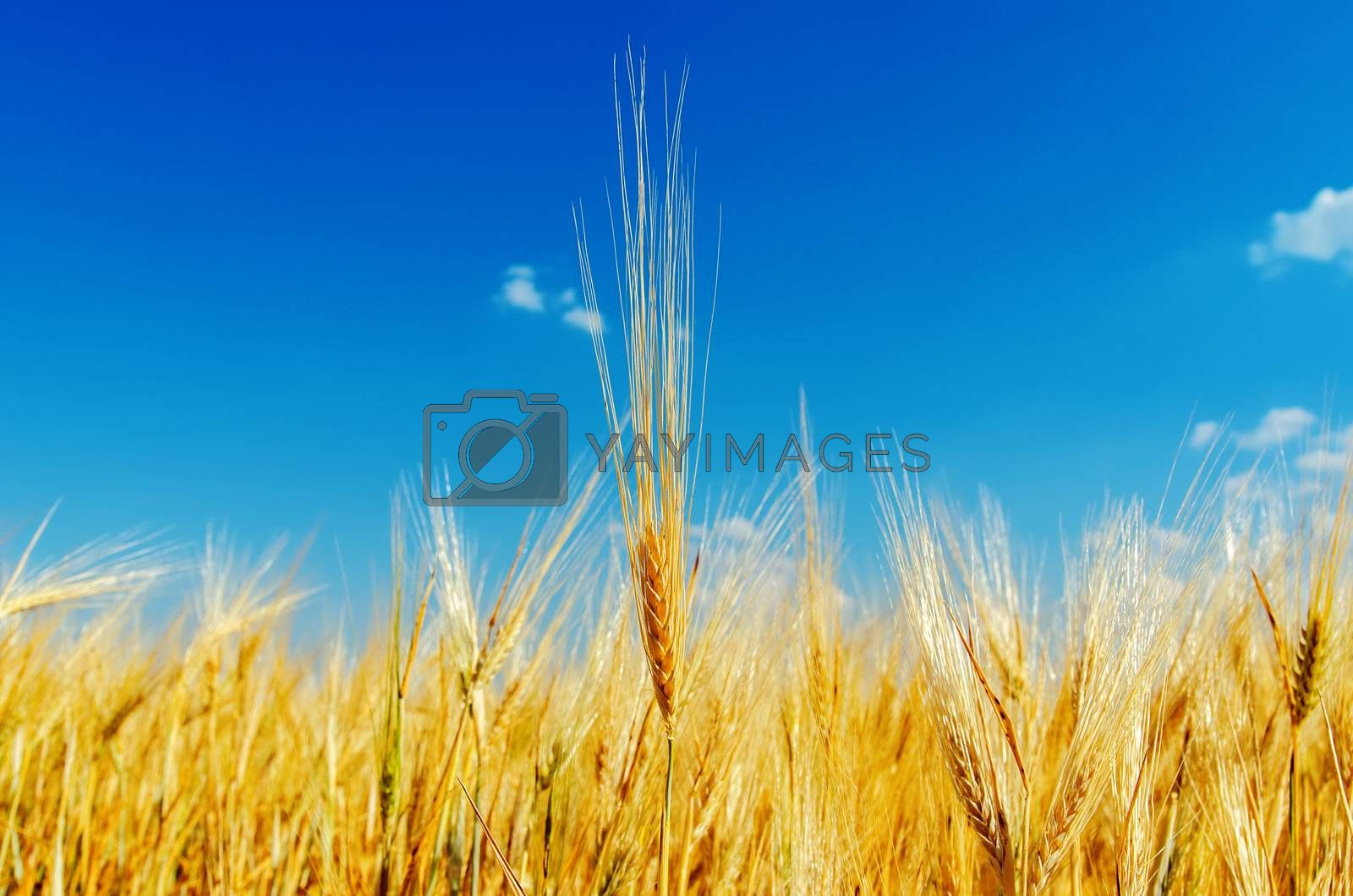 close up of ripe wheat ears against sky. soft focus