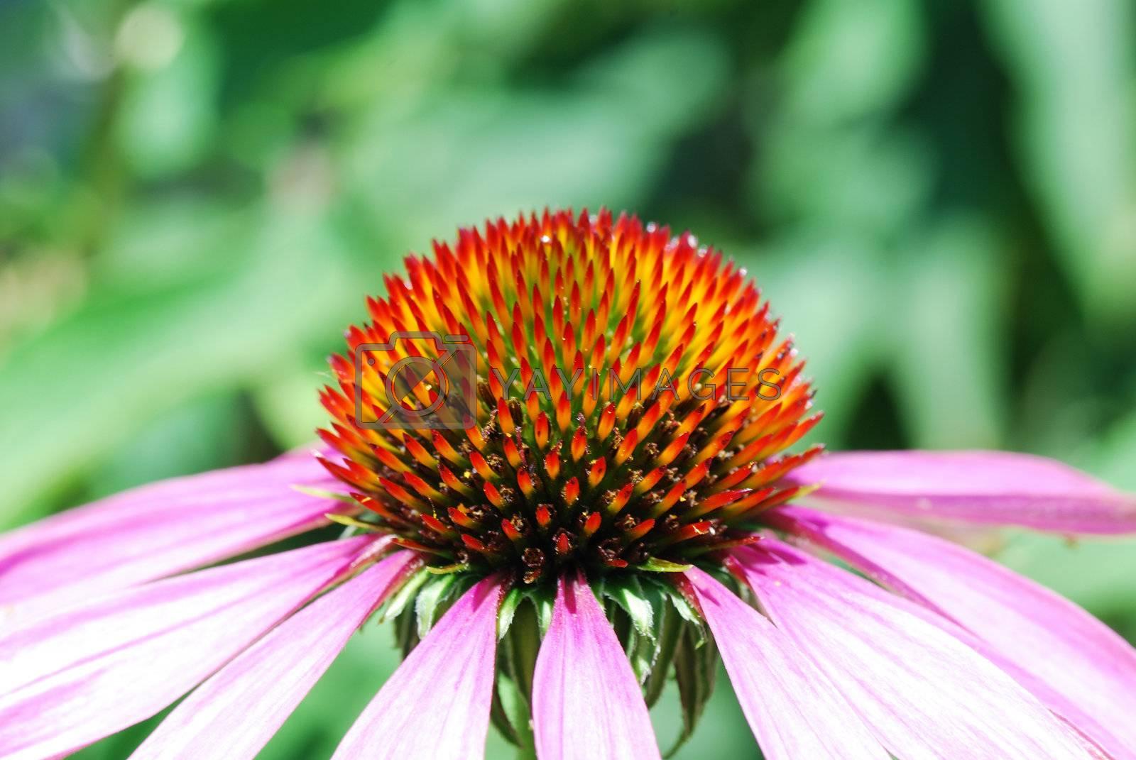 fresh spiny flower bloom from the garden in summer