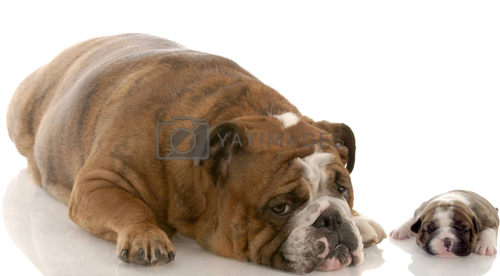 english bulldog mother and three week old puppy with reflection on white background