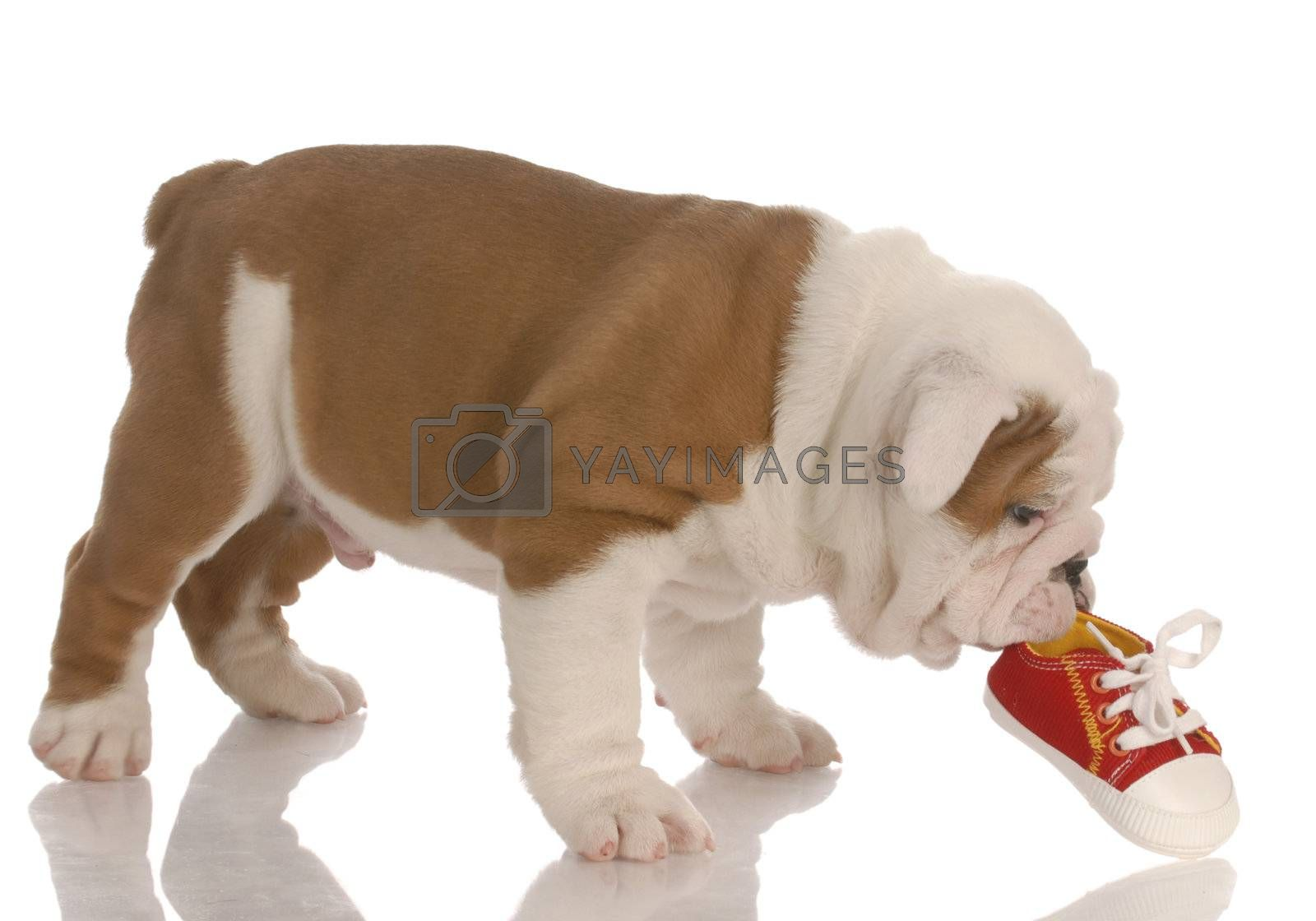 english bulldog puppy chewing on small running shoe - seven weeks old