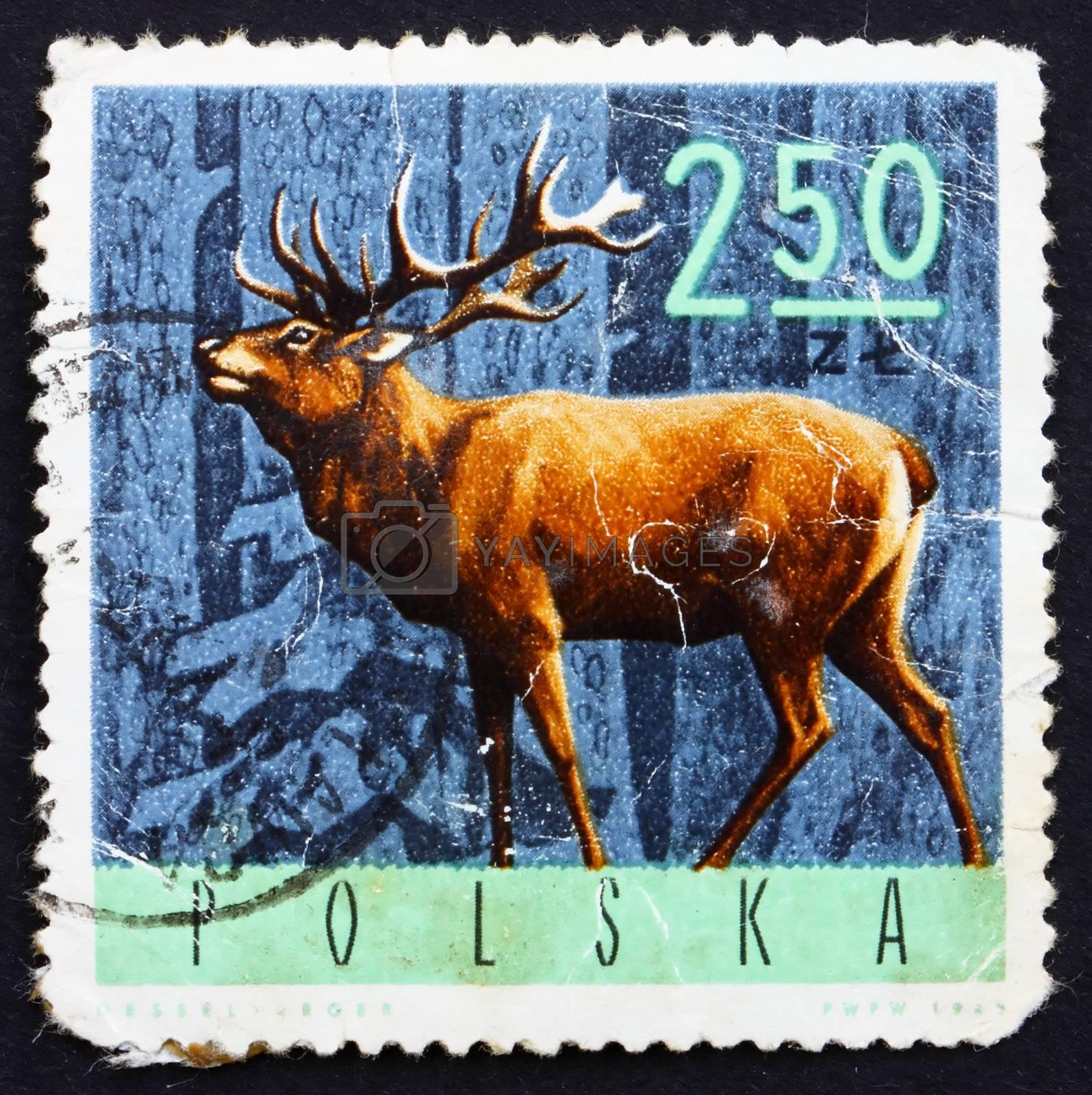 POLAND - CIRCA 1965: a stamp printed in the Poland shows Red Deer, Cervus Elaphus, circa 1965