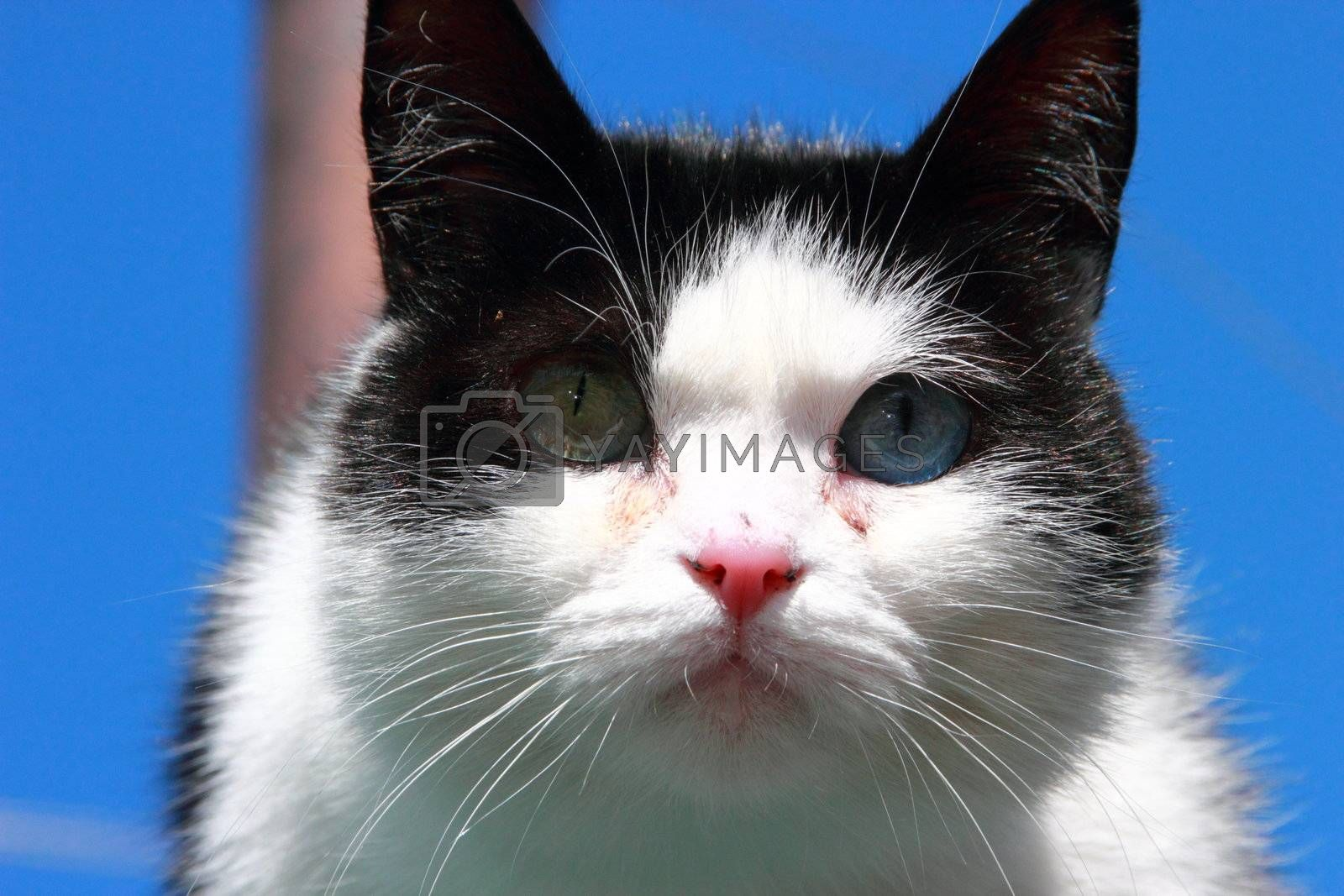 cat with different eyes, black and white