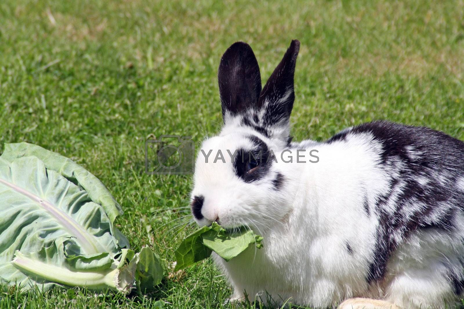 rabbit eating cabbage in the garden