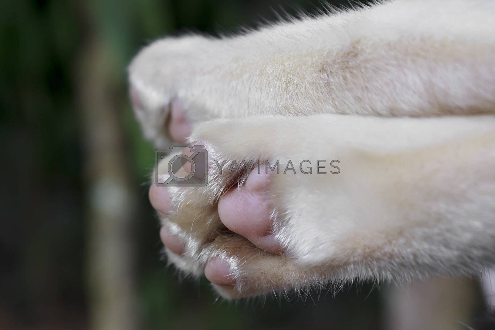 Paw of Siamese cat foot