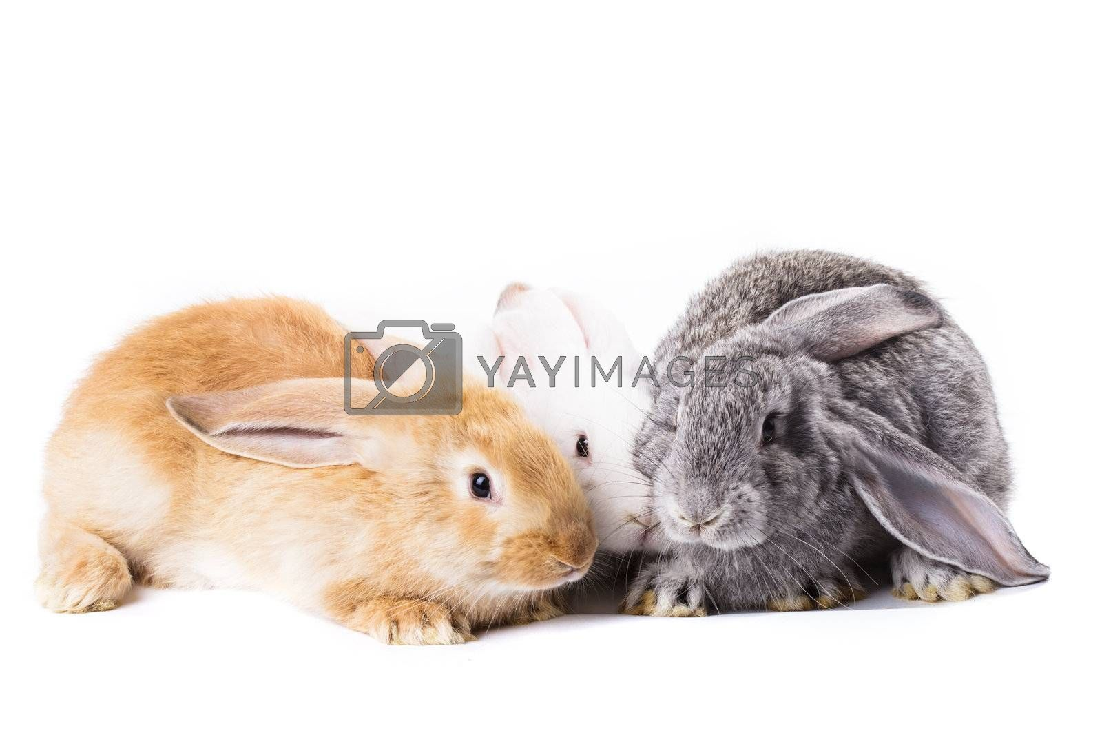 Three young rabbits on white close up