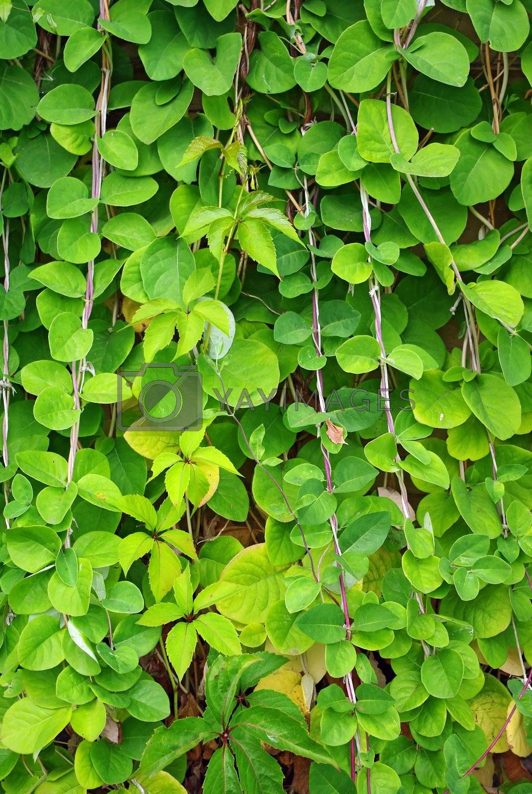 Royalty free image of The Green Creeper Plant on the wall by Vitamin
